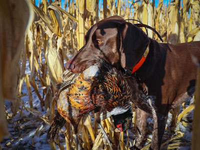 Trained hunting dogs will roust and retrieve pheasant during the hunt